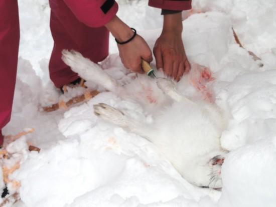 【悲報】ウサギの解体写真をアップした女猟師のブログが炎上