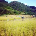 今日は稲刈り日和!20人以上が参加してくれたおかけであっっっという間に終わった…!すごい…!